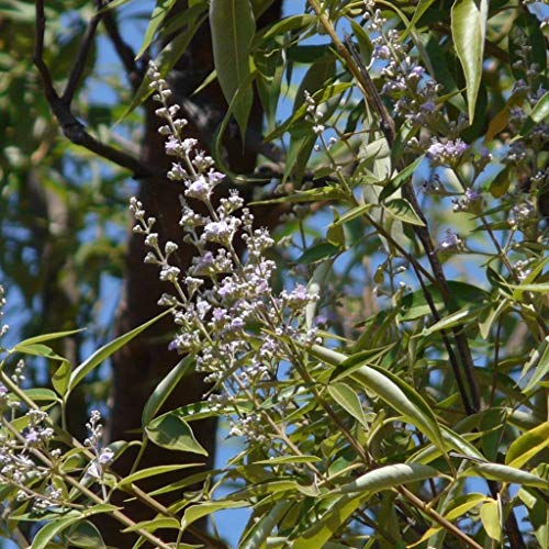 Portal Cool 10+ Seeds: Lace-Leaved Vitex Seeds (. Vitex negundo Var Heterophylla)