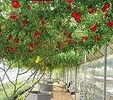 nulala Semi di pomodoro albero italiano, 20pcs Tomato TreeSeeds, pianta in vaso, pianta dell'albero, semi di verdure speciali per abbellire il giardino di casa