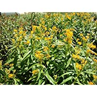 Virtue Yellow Tropical Milkweed Seed,(Asclepias curassavica 'Silky Gold')