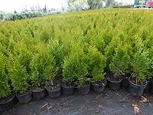 thuja lebensbaum smaragd topfballen 60 70 cm 36 st hecke heckenpflanze garten. Black Bedroom Furniture Sets. Home Design Ideas