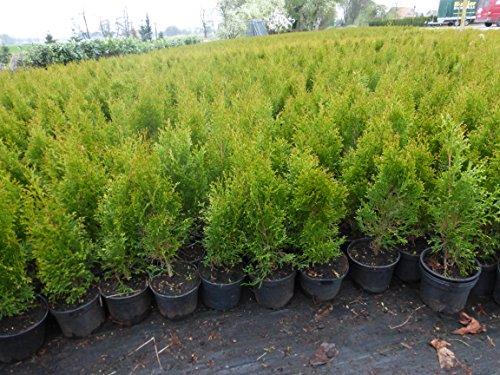 Thuja Lebensbaum Smaragd Topfballen 50-60 cm 150 St. Hecke Heckenpflanze