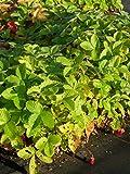 Fragaria vesca var. semperflorens Verbesserte Rügen - Monats-Erdbeere, 6 Pflanzen im 5/6 cm Topf