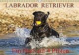 Labrador Retriever - ein Herz auf 4 Pfoten (Wandkalender 2019 DIN A3 quer): Eine der beliebtesten Hunderassen in Porträt und Action auf 13 ... (Monatskalender, 14 Seiten ) (CALVENDO Tiere)