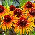 lichtnelke - Sonnenhut (Echinacea purpurea ' Flame Thrower ') von Lichtnelke Pflanzenversand auf Du und dein Garten