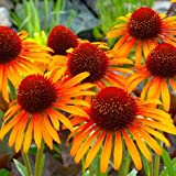lichtnelke - Sonnenhut (Echinacea purpurea ' Flame Thrower ')