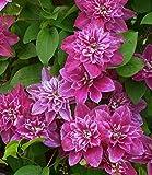 BALDUR-Garten Winterharte Kletterpflanze Clematis