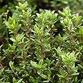Bio Thymian im 12 cm Kräutertopf, Thymian in Bio-Qualität, Thymian, Würzkraut im Topf, Kölle's Bio Thymian von Kölle's Bio auf Du und dein Garten