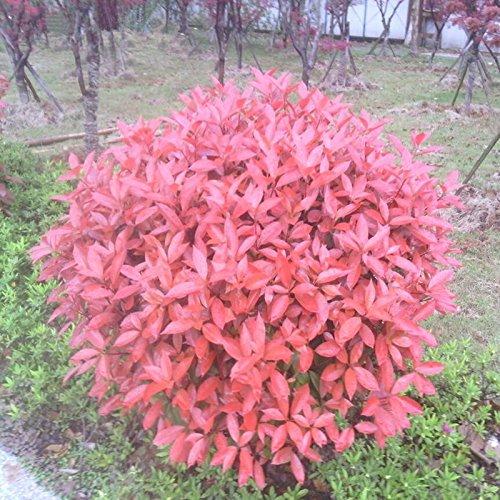 nouveau-jardin-des-plantes-10-graines-photinia-fraseri-frasery-serrulata-red-robin-seeds-tipluohu-fl