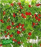 BALDUR-Garten Hänge-Erdbeere'Hummi', 3 Pflanzen Fragaria rankend