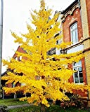 Keland Garten - China Fächerblattbaum Ginkgobaum Ginkgo biloba hitzeverträglich stadtklimafest Baumsamen exotisch winterhart mehrjährig, für den Anbau in Töpfen geeignet