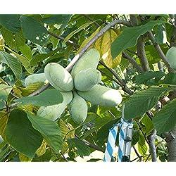 Asklepios-seeds® - Asimina triloba, 20 Samen, Indianerbanane, Papau Pawpaw, winterhart exotische Frucht