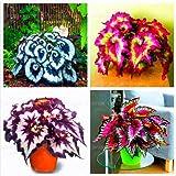 100pcs / bag semillas de flores las semillas de begonia bonsai balcón patio coleo plantas de semillas de begonia en maceta pa