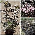 Black Lace ®, rotblättriger Holunder Busch, Beeren essbar, 3 Liter Topf von Grüner Garten Shop - Du und dein Garten