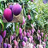 #9: GRAFTED Thailand  Mango Tree plant Nam-Dok-Mai Si Mueng 18 inchTall Thai Purple Mango Juicy Fruit