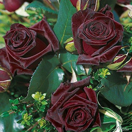 Edelrose Black Baccara in Schwarz-Rot - Duftrose winterhart - Rose mittel-stark duftend, wurzelnackt /Wurzelware von Garten Schlüter - Pflanzen in Top Qualität