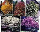 Blütenhecke XL. 5 Pflanzen. bestehend aus je 1 Strauch der Sorte Maiblumenstrauch weiß blühend. Goldglöckchen gelb blühend. Zierjohannisbeere rot blühend. Schneeball weiß blühend. Japanische Zierkirsche rosa blühend - zu dem Artikel bekommen Sie gratis ein Paar Handschuhe für die Gartenarbeit dazu