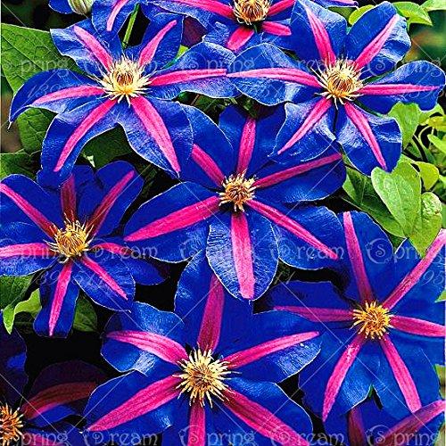 1pcs arrampicata lampadine clematis, piante da giardino clematis albero bulbi, bulbi di fiori rari impianto perenne per vaso di fiori per la casa gar 12