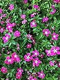 Bodendecker Vinca minor 'rubra' im 0,5L Topf gewachsen mit roten Blüten 50 Stück
