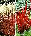 BALDUR-Garten Rote Gräser-Kollektion,4 Pflanzen von Baldur-Garten - Du und dein Garten