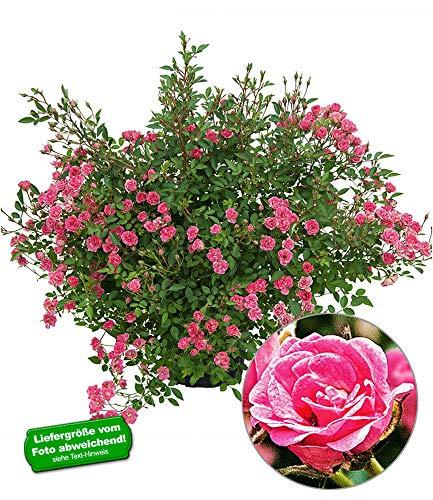 """BALDUR-Garten Lilly Rose®""""Wonder5"""", 1 Pflanze Balkonrose für Töpfe und Kübel winterhart"""