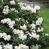 """Dominik Blumen und Pflanzen, Rhododendron """"Cunninghams White"""", 1 Pflanze, 20 - 30 cm hoch, 2 Liter Container, winterhart"""