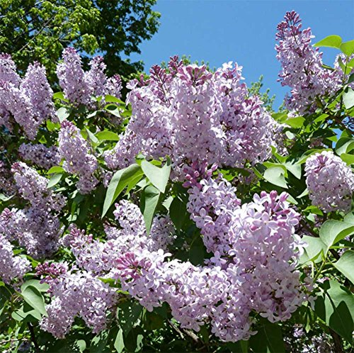1-lilac-tree-well-branched-apx-2-3ft-syringa-vulgaris-fragrant-purple-flowers