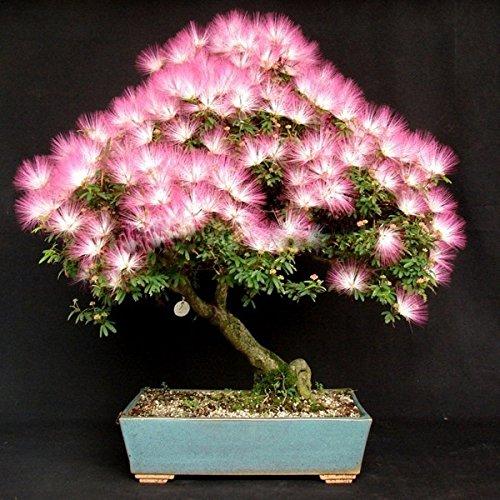 PhilMat 10pcs le jardin albizia julibrissin la fleur ensemence la fleur de velours l'usine en pot
