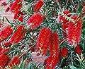 Exotische Callistemon Zylinderputzer ca. 70cm von Lifestyle-Hamburg Pflanzenraritäten - Du und dein Garten