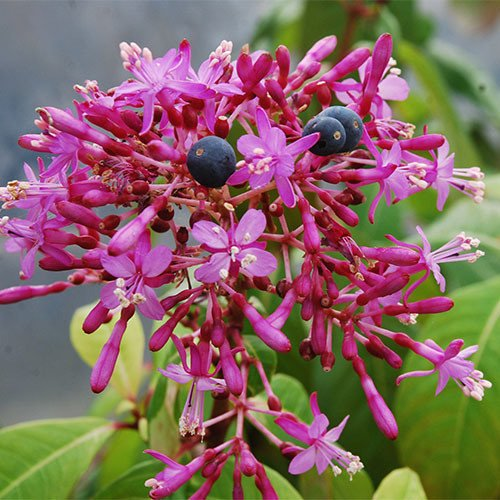 Plant World Seeds - Fuchsia Paniculata Seeds
