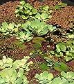 Schwimmpflanzen Mix für den Gartenteich 4 Sorten von 534 - Du und dein Garten