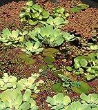 1 Büschelfarn + 1 Wassernuss, Schwimmpflanzen für Gartenteich
