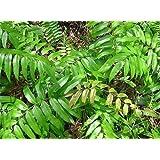 Blechnum orientale - fougère scolopendre - 100 graines