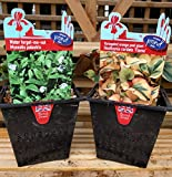 Aquatic Marginal Pond Plant Set - White Water Forget-Me-Not (Myosotis Palustris) & Variegated Orange Peel Plant (Houttuynia Cordata 'Flame') - 2 x 1lt Pots (Live Plants)