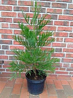 Berg-Mammutbaum, Höhe: 80-90 cm,Sequoiadendron giganteum, immergrün