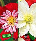 BALDUR-Garten Klematis-Sortiment 'Avant Garde TM' und 'Madame Le Coultre' rot und weiß winterhart, 2 Pflanzen Clematis mehrjährige blühende Kletterpflanzen
