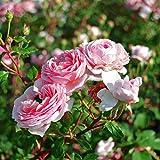 Coen Bakker Canvas Blumen Bild Leinwand Rose Lavendel Hortensie in & Outdoor Wandbild, Größe:25 x 25 cm, Motiv/Art:Rosen 2