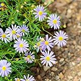 Swan River Daisy gemischt Samen - Blaues Gänseblümchen