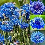 Kisshes Giardino - Semi di fiordaliso'Nano celibe' Semi di fiori Fiori estivi Semi di prato Perenne Hardy