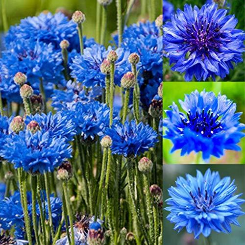 kisshes giardino - semi di fiordalisonano celibe semi di fiori fiori estivi semi di prato perenne hardy