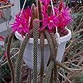 Aporocactus flagelliformis (Disocactus) steckling von CactusPlaza.com auf Du und dein Garten