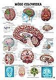 Gehirn. 70x100 cm, polnisch, laminiert