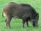 Scheibenauflage, Zielscheibe, 3 D Scheibe SLYNY Wildschwein ca.100 x 75cm, Kategorie 2