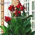 10 Stück Canna Samen Schöne Blumensamen-Mix Indica Lily Pflanzen Garten Birnen Blumen im Freien Topf Bonsai Flores. Home Geschenk von SVI - Du und dein Garten