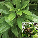 Vamsha Nature Care LIVE Allspice Plant -Wondaring plant combined the flavour of Cinnamon, Nutmeg and Cloves. Plant