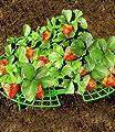 Erdbeeren-Reifer, 5 Stück von WENKO - Du und dein Garten