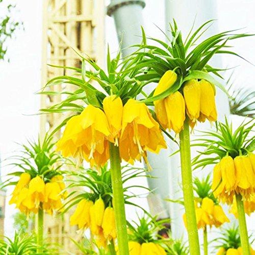 KAYI 100 Pièces Jaune Couronne Impériale Fritillaria Graines De Fleurs Élégance Maison Jardin Usine