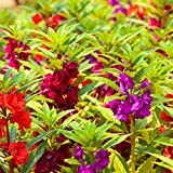 GROSEEDS - Annual Flowers, Balsam - Dwarf Bush Flowered Mixed - FA-BAL-01. 150 Seeds Minimum per Packet.