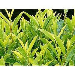 Kirschlorbeer Goris Gold ® Containerpflanzen 100-120 cm