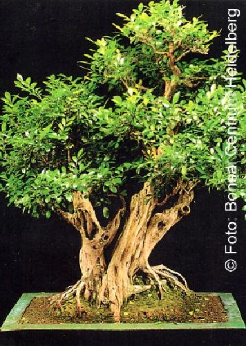 Tropica - Bonsai - Orangen-Jasmin (Murraya paniculata syn. exotica) - 12 Samen