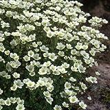 Moos - Steinbrech - Saxifraga x arendsii 200 Samen